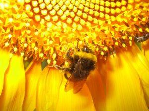 Méhpempő a kaptárból